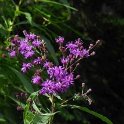 Cancer Treatment Potential of Ironweed Plant