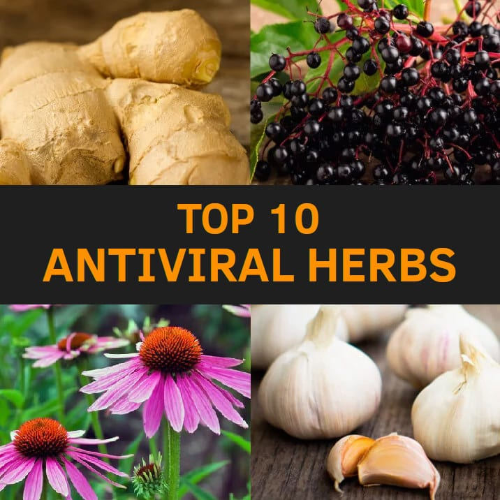 Use Antiviral Herbs to Boost Immune System & Fight Infection