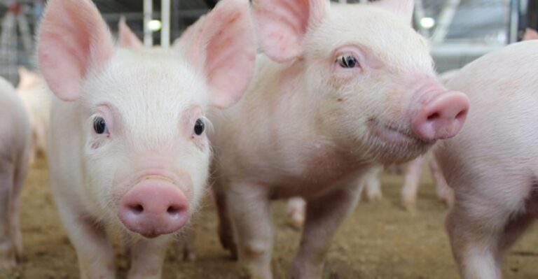 Is Pork Bad for You or Safe to Eat